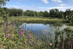 wildflowers around pond at Colby Farm, West Newbury