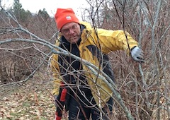 volunteer pruning blueberry bushes