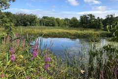 Pond and wildflowers at Colby Farm, W. Newbury