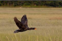 coastal wildife - bird soaring over marsh