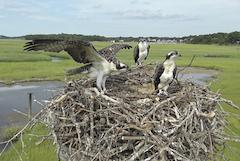Osprey family on their nest
