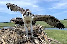 Banding Osprey