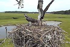 Osprey nest feeding time and fledgling spreading its wings