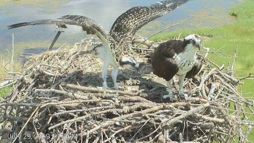 Osprey family in nest