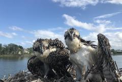 Osprey news
