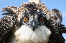 Osprey up close