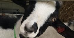 haverhill goat
