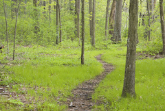 wooded trail in springtime, trail