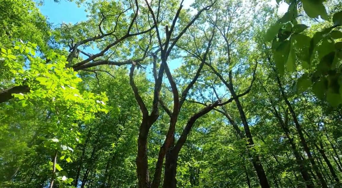 Artichoke River Woods, skyward through treetops