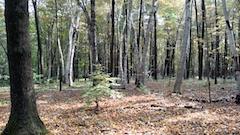 white birches at River Road, West Newbury